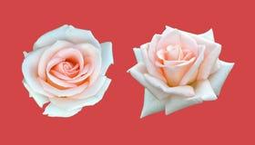 Isolado da rosa do branco no vermelho fotografia de stock