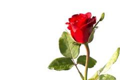 Isolado da rosa do vermelho Fotos de Stock Royalty Free