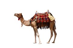 Isolado do camelo Fotografia de Stock Royalty Free