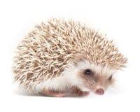Isolado do Hedgehog no fundo branco Imagem de Stock