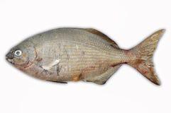 Isolado dos peixes frescos na terra da parte traseira do branco, faixa dos peixes, alimento saudável, peixe fresco do mar Foto de Stock Royalty Free