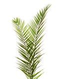 Isolado duas folhas de palmeira Imagens de Stock Royalty Free