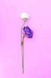 Isolado fresco e murchado da rosa no fundo cor-de-rosa foto de stock