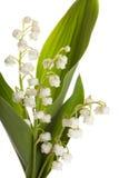 Isolado lilly do vale Imagens de Stock