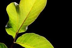 Isolado nas folhas verdes pretas para o fundo fotos de stock