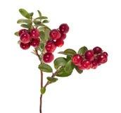 Isolado no grande ramo vermelho branco da airela Imagem de Stock Royalty Free