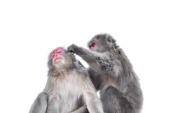 Isolado no macaque japonês do fundo branco, Arashiyama, Kyoto Imagens de Stock Royalty Free