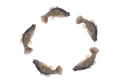 Isolado pequeno de salto dos peixes Imagens de Stock Royalty Free