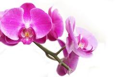 isolaed orchideas 免版税库存图片