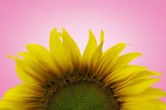 Isolamento amarelo do girassol fotos de stock royalty free