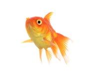 Isolamento del pesce dell'oro sul bianco Fotografie Stock Libere da Diritti