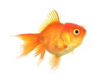 Isolamento del pesce dell'oro sul bianco Fotografia Stock