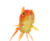 Isolamento del pesce dell'oro sul bianco Immagini Stock Libere da Diritti