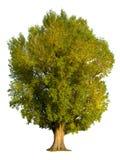 Isolamento dell'albero di pioppo Fotografia Stock