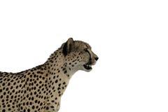 Isolamento fissare del ghepardo Fotografie Stock Libere da Diritti