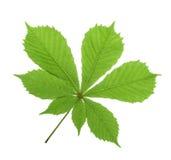 Isolat лист каштана конского (hippocastanum Aesculus, дерева плода конского каштана) Стоковое Фото