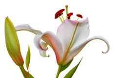Isolat av en lilja på en vit bakgrund Fotografering för Bildbyråer