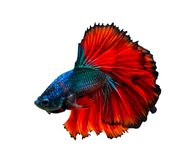 Isolat blanc bleu rouge de combat de fond de poissons photo stock