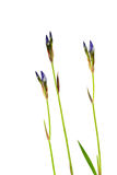Isolat d'iris de fleurs sur un fond blanc Photos stock