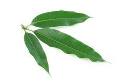 Isolat de feuilles de mangue sur le blanc Photo stock