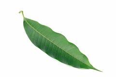 Isolat de feuilles de mangue sur le fond blanc Photos stock