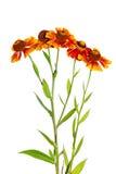 Isolat de fleur de Helenium sur un fond blanc Photographie stock libre de droits