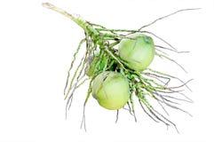 Isolat de fruit de noix de coco Photos stock