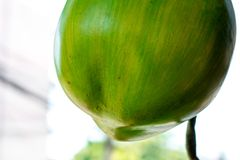 Isolat de noix de coco sur la fin de fond  photo libre de droits