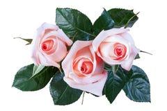 Isolat de rose de rose Image stock