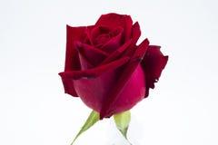 Isolat de rose de rouge Photo stock