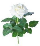 Isolat de roses blanches Photographie stock libre de droits
