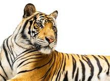 Isolat de tigre Photos libres de droits