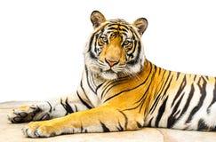 Isolat de tigre Image libre de droits