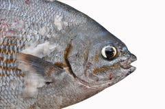 Isolat der frischen Fische auf Weißrückseitenboden, Leiste von Fischen, gesundes Lebensmittel, frischer Fisch vom Meer Stockfoto