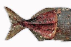Isolat der frischen Fische auf Weißrückseitenboden, Leiste von Fischen, gesundes Lebensmittel, frischer Fisch vom Meer Stockfotografie