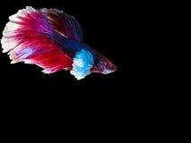 Isolat des Siamesischen Kampffisches Stockfotos