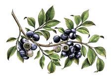 Isolat för konst för gem för tappning för teckning för blåbärfilialhand på vit royaltyfri illustrationer