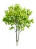 isolat för pongpongträd royaltyfri foto