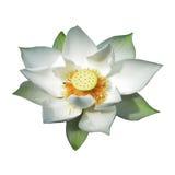 Isolat för vit lotusblomma Vektor Illustrationer
