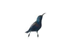 Isolat pourpre de Sunbird sur le fond blanc (oiseau) images stock