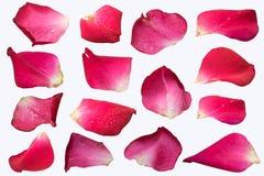 Isolat réglé de pétale de rose rose sur le fond blanc photos libres de droits