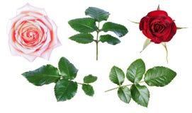Isolat rouge-rose de rose Photo libre de droits