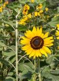 Isolat-Sonnenblumen Lizenzfreies Stockbild