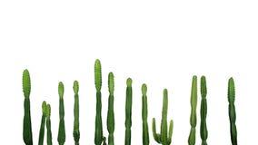 Isolat suculento tropical de Ingens del euforbio de cactus del vaquero de la planta imagenes de archivo