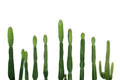 Isolat suculento tropical de Ingens del euforbio de cactus del vaquero de la planta fotos de archivo libres de regalías