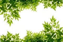 Isolat vert de cadre de feuille sur le fond blanc Images stock
