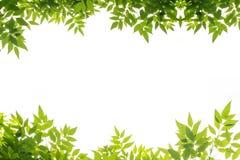 Isolat vert de cadre de feuille sur le fond blanc Image libre de droits