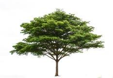 Isolatbaum Stockbilder