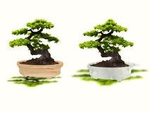 Isolatbonsaiträd arkivfoto