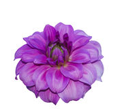 Isolatd pink dhalia Royalty Free Stock Images